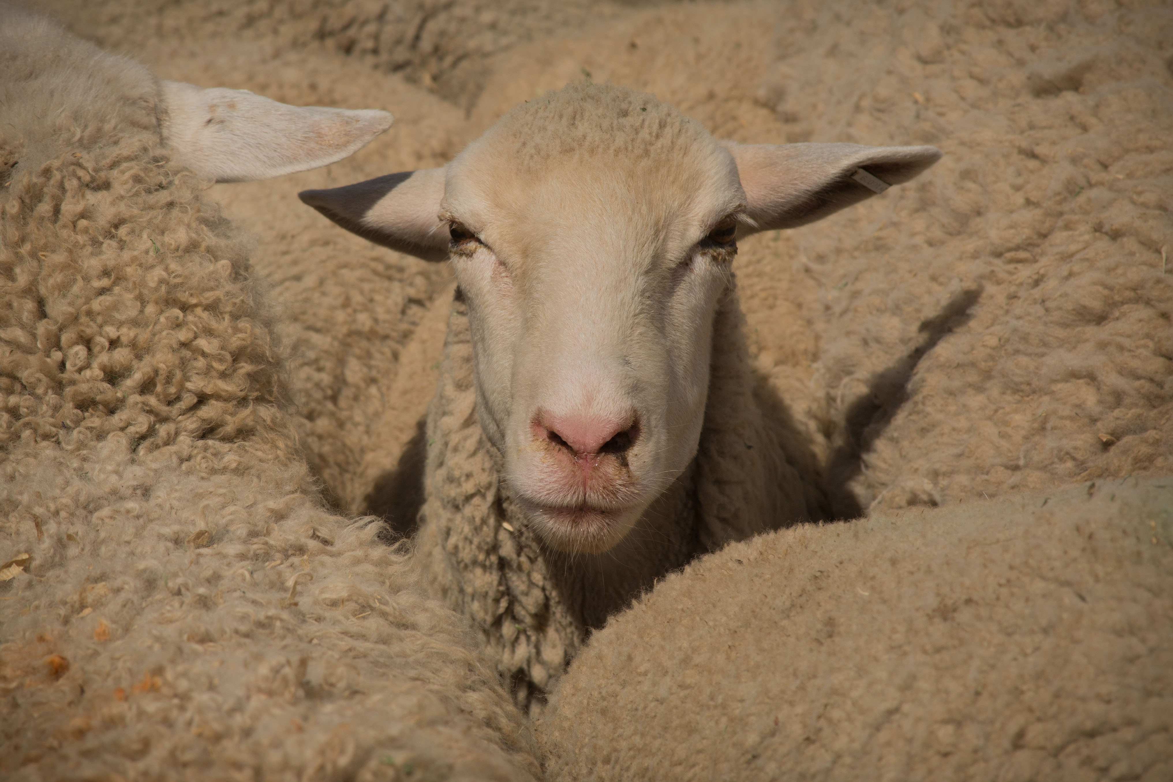 Goat Fight-1